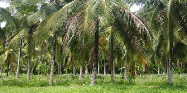 Origine de notre huile de coco