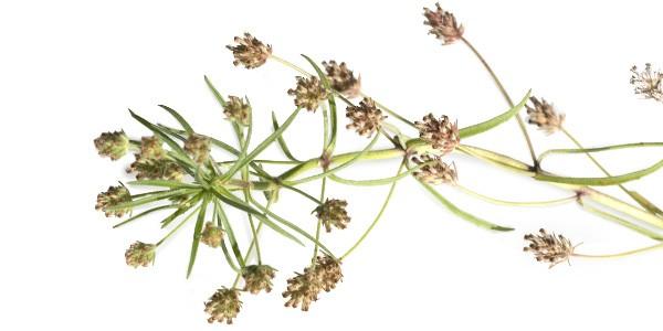 flohsamenschalen-pflanze