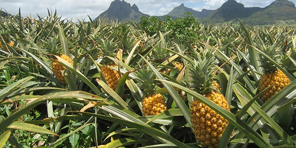 mango-ananaspulver-herkunft