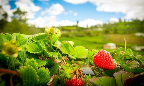 poudre-de-fraise-origine