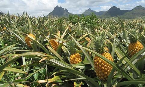poudre-ananas-mangue-origine