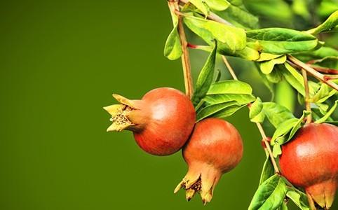 granatapfel-herkunft