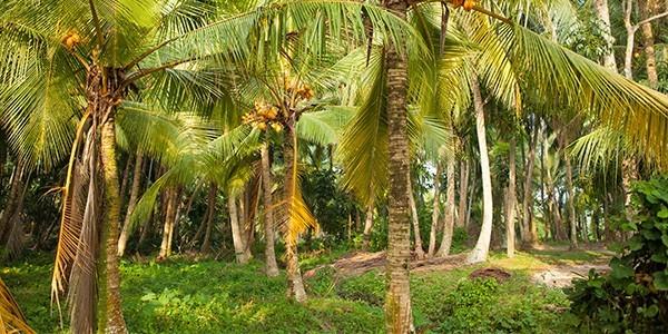 kokosbluetensirup-herkunft