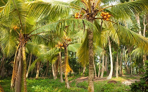 kokosbluetensirup-origine