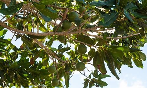 macadamia-herkunft