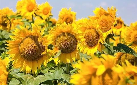sonnenblumenprotein-herkunft